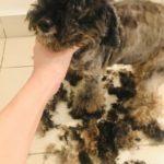 犬の毛刈りその二@MCO