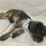犬にガンが見つかる8@マレーシア
