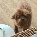 新しく犬を飼い始める6@マレーシア